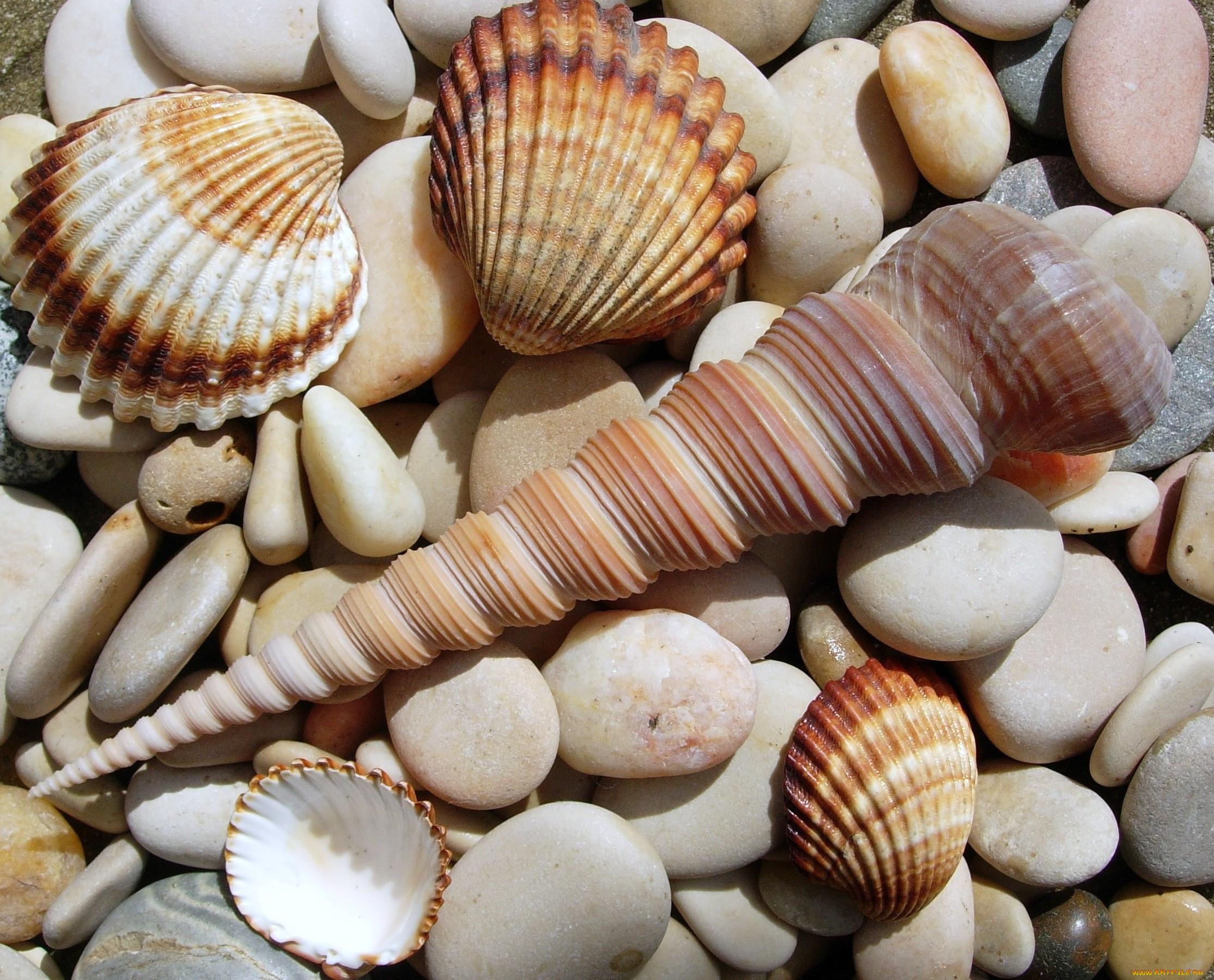 Картинки морских ракушек красивых
